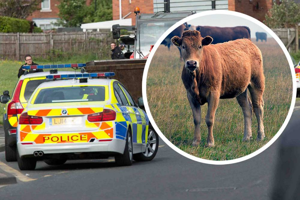 RIP! Group plans to hold vigil after Bessie the cow was shot dead by police
