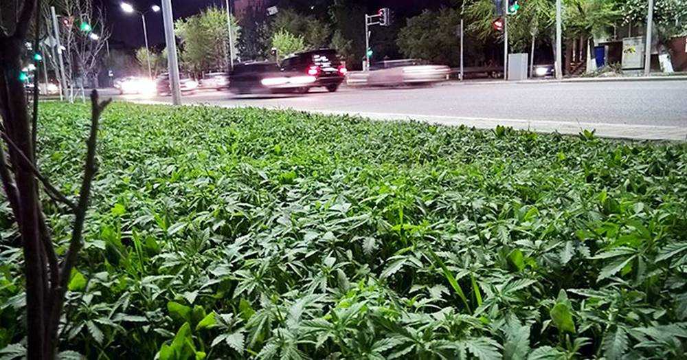 Council 'accidentally' plants marijuana in city centre flowerbeds