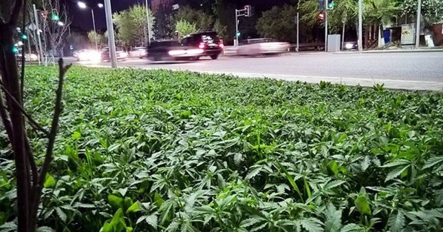 "Pic shows: The marijuana plants in the city center of Astana City. nnRed-faced council chiefs are investigating after flowerbeds were planted with marijuana plants instead of ordinary ones.nnThousands of pot plants are now growing healthily in the centre of Astana City, the capital of Kazakhstan.nnThe amazing bloomer was discovered by a shocked resident who was initially attracted by the sweet aroma and unusual looks of the plants.nnNow pictures of the incredible mistake have been shared on social media and have gone viral.nnLocal resident Mihail Malorod could not believe his eyes when he saw the plants. He said:""'I was walking down the street when I saw these cute plants at the junction of Auezova street and Dzhangeldina street. What a nice little flowerbed,  I thought ! ""nnOthers have suggested renaming the street Marijuana boulevard.nn Marat Asymbaev joked:"" 'What if that was the idea of police? What if they want to catch all junkies in our city.""nnAn investigation has been launched by the council who are quizzing officials at  Zelenstroy the urban gardening service who are responsible for the flowerbeds in the city centre.nnA spokesman said:"" An investigation has been launched. If they are marijuana plants we will remove them immediately.""nn(ends)"