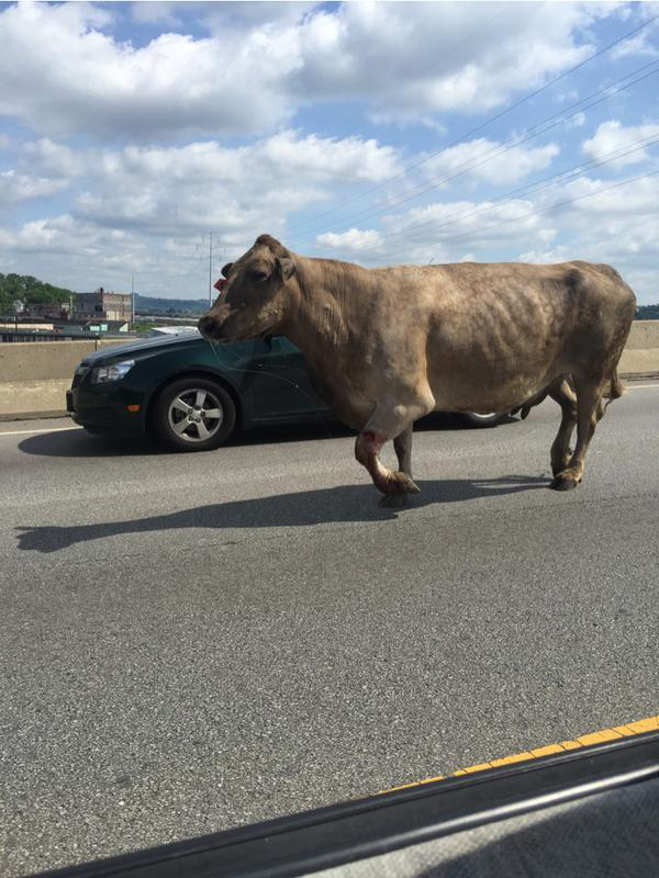 Slaughterhouse cow makes daring bid for freedom, gets shot near McDonald's