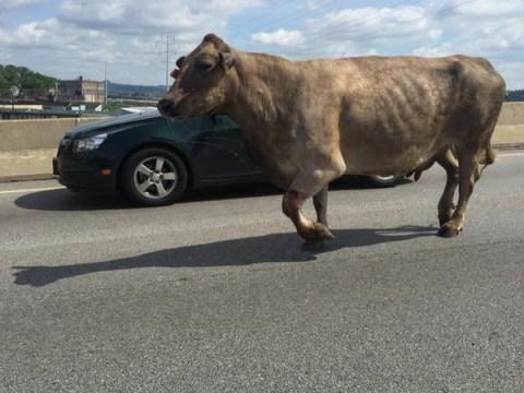 Slaughterhouse cow makes daring bid for freedom, gets shot near McDonald's
