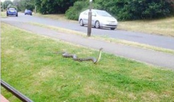 There's a '10ft python' on the loose in Kent