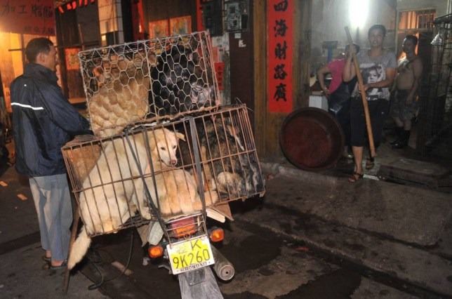 Mandatory Credit: Photo by Imaginechina/REX_Shutterstock (3820312d).. A worker pushes his motorcycle to deliver cages of dogs to be killed and eaten to a shop at a free market.. Dog meat festival in Yulin, China - 2012.. Medical staff have been ordered not to eat dog meat amid a growing backlash against an upcoming dog meat festival in southwest China. Doctors and nurses were warned by health authorities not to eat dog meat in Yulin city in Guangxi province.  Traditionally, locals in Yulin celebrate the summer solstice by savouring dog meat, lychees and strong liquor. More than 10,000 dogs are killed during the annual festival as tourists flood the streets to enjoy the controversial feast.  But the annual festival that has triggered protests from dog lovers and animal rights groups at home and abroad has been forced to become more low-key this year.  Staff from three local hospitals confirmed to the Southern Metropolis Daily yesterday that meetings had been held to ban employees from eating dog meat in public. A notice of the ban had first been posted on Sina Weibo on May 29...