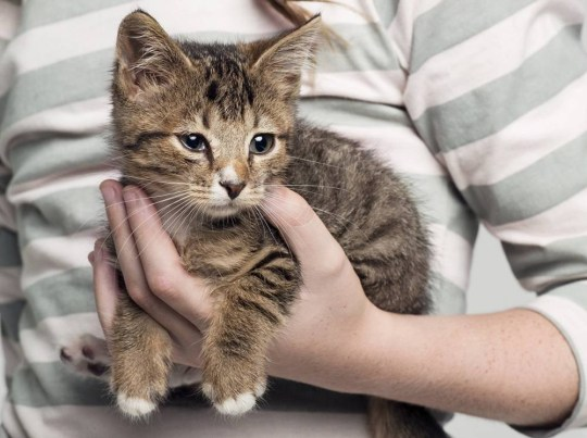 Girl (8-9 years) carrying kitten in hand, studio shot