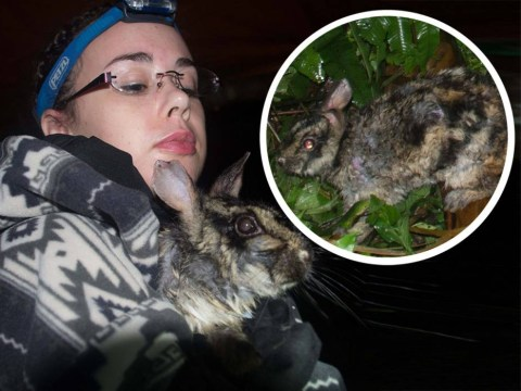 Researchers went on three-month trek to find world's rarest rabbit. They found it on the first night