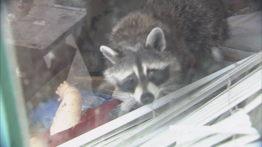 A family of raccoons have taken over a house and are terrorising their new neighbours