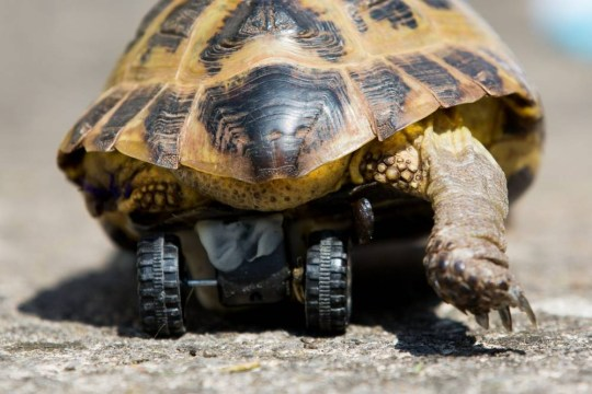 """Touche the Tortoise with his new set of wheels. A disabled tortoise has been fitted with the wheels of a Hotwheels toy car to help him scoot around after he lost a leg. See swns story SWWHEEL. Eight-year-old Touche had a back leg amputated after an accident at home last week which left him limping. But a creative vet at Highcroft Vetinary Hospital in Whitchurch, Bristol decided to use a special resin and fix the base of a little toy car to the underside of Touche's shell to help him get back to his old self. The surgery took an hour and a half to complete and was a """"complete success"""", with little Touche seemingly un-phased by his new prosthetic."""