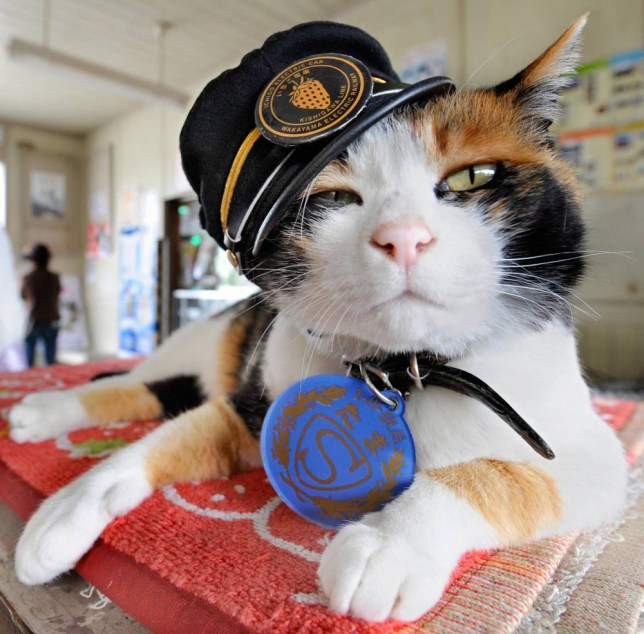 """Wearing a stationmaster's cap of Wakayama Electric Railway, the nine-year-old female tortoiseshell cat named """"Tama"""" sits on a ticket gate at Kishi station on the Kishigawa line in the city of Kinokawa, in Wakayama prefecture on May 22, 2008. The number of passengers who travel along the line increased 10 percent for the year to March 2007 from the previous year, credited to Tama after the """"stationmaster"""" cat appeared at the unmanned small station.   AFP PHOTO/Toru YAMANAKA (Photo credit should read TORU YAMANAKA/AFP/Getty Images)"""