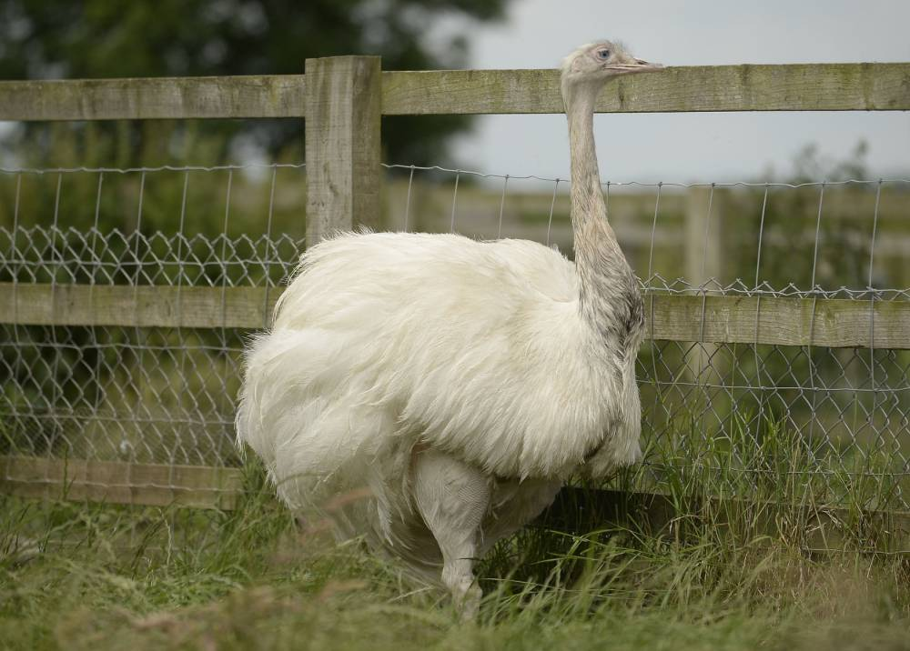 The female partner of the missing Rhea bird which is on the loose from a private collection in Carlton-in-Lindrick near Worksop, Nottinghamshire. PRESS ASSOCIATION Photo. Picture date: Thursday June 25, 2015. Anyone in the Nottinghamshire area who spots the rhea, a tall flightless bird native to South America, is urged to call 999 immediately. See PA story POLICE Rhea. Photo credit should read: Joe Giddens/PA Wire