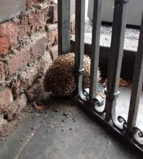 This is the moment a hedgehog misjudge his own girth - and got himself wedged in a GATE. See Masons story MNGATE; The RSPCA were called to the scene when the prickly creature was spotted after squashing himself between the metal bars.  It is thought he had been there overnight and was so stuck he would never have been able to escape on his own.  Firefighters hurried to the scene at the entrance to a housing complex in Newmarket, Suffolk, and used equipment to widen the bars so he could be lifted out to safety.  After an overnight stay in RSPCA care to ensure he recovered and was unhurt after the ordeal on June 14, the hedgehog was returned to the wild.  RSPCA inspector Richard Lythgoe said: ìIt is hard to imagine how this little thing got himself into such a tight squeeze. I can only imagine he misjudged the width of the bars - or perhaps did not see them clearly as hedgehogs are short-sighted. He was so firmly wedged inbetween the bars of this gate that the fire crews had to completely stretch them to get him out - and even then all his little spines were squashed down.  They did a brilliant job, and thereís no way I could have got him out without them. He most definitely wouldn't have been unable to escape without help. I gave him some food and drink, and kept an eye on him, for 36 hours. He seemed to recover completely from his ordeal, so he was released back to the wild - hopefully a little wiser.î