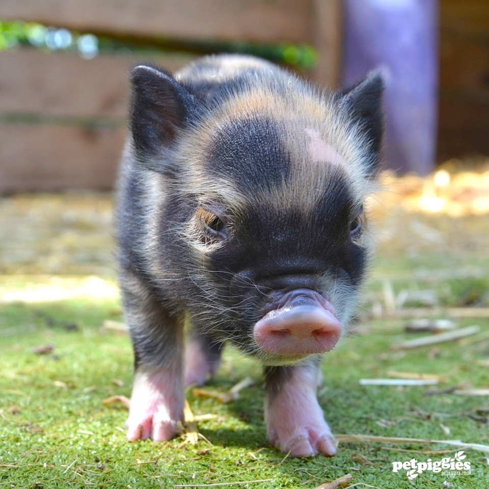 London's first 'pignic' actually happened (and it came with an important message)