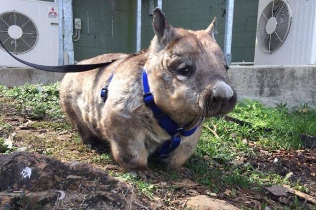 Daily walk keeps wombats fit at Rockhampton Zoo Photo: Rockhampton Zoo