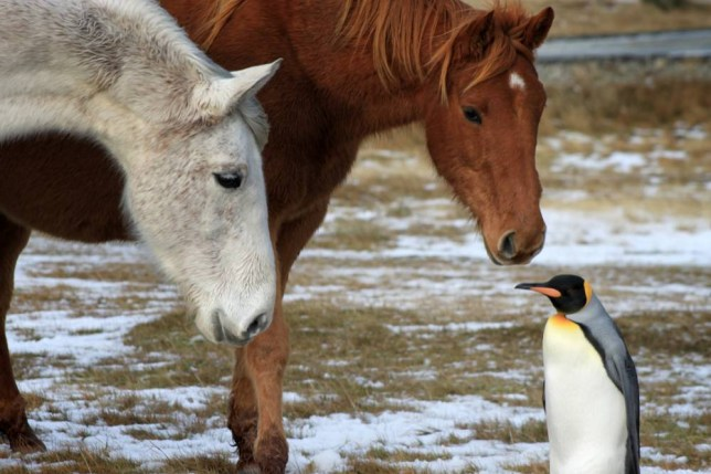 PIC FROM SARAH CROFTS / CATERS NEWS - (PICTURED: The nomad penguin found itself in a field of horses ) - It looks like a scene youd seen from a Disney film  the moment when a herd of horses try to adopt a lost penguin. These heart-warming pictures from the Falkland Islands, were taken at the Cape Pembrokeshire Nature Reserve, five miles outside of Stanley, their capital city. The cute camerawork, showing the horses sniffing and playing around as they try to recruit the penguin into their herd, was caught by conservation officer, Sarah Crofts, who noticed the unlikely friendship when the plucky penguin approaching as she was feeding her three horses. SEE CATERS COPY.