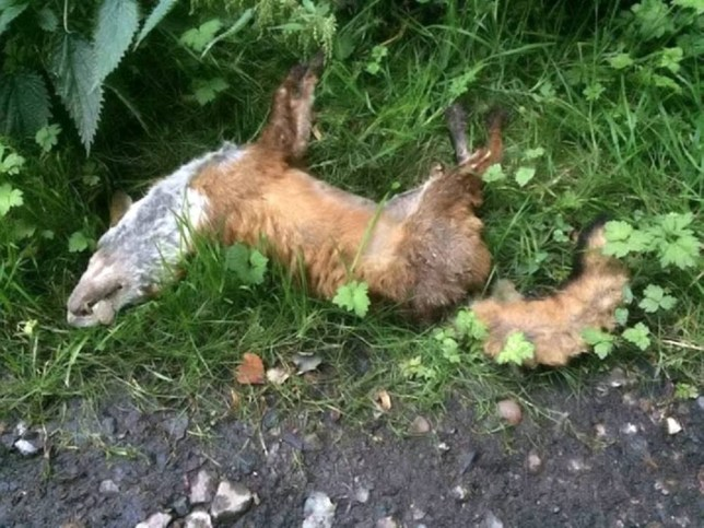 """An ex-Labour MP who was the driving force behind the hunting ban had a dead FOX (PICTURED) dumped on his driveway just days before a crunch vote on amending the controversial act was dramatically ditched.  See NTI story NTIFOX.  Campaigner Mike Foster, 52, found the gruesome carcass on grass outside his property after returning from work at 9pm on Monday night (13/7).  The former Labour MP for Worcester tried unsuccessfully to ban fox hunting through a Private Member's Bill in 1997.  But ex-Prime Minister Tony Blair announced he planned to make fox-hunting illegal in July 1999 and the principles behind Mr Foster's attempt were taken into the 2004 Hunting Act.  Speaking yesterday (Tue), the ex-Labour MP said it was """"more than a coincidence"""" that the dead fox was found on grass next to his drive in Holt Heath, Worcs."""