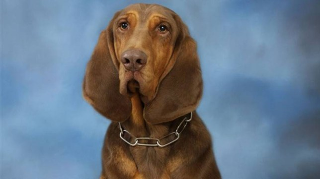 police dog.jpg A Conyers police dog died Thursday night after being left in his handler's patrol car. Zane, a 5-year-old bloodhound, was found dead around 5 p.m. at Jerahmy Williams' home in Rockdale County.