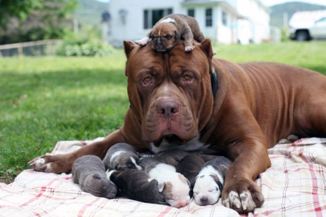 *** EXCLUSIVE - VIDEO AVAILABLE *** *** STRICT ONLINE EMBARGO UNTIL 00:01 GMT ON SATURDAY 25.07.2015 *** WHITE MOUNTAINS, NH - JULY 17: Hulk with his 6 day old puppies on July 17, 2015 in the White Mountains, New Hampshire. THE world's biggest pitbull cuddles up to his adorable new litter - valued at a whopping half-a-million dollars. The eight puppies were fathered by gentle giant Hulk, who weighs in at a huge 12 stone. And even though his owners say his bite could 'snap a man's arm like a toothpick', here he shows off his softer side by nuzzling and licking his new brood. The eight pups could collectively command $500,000 (£320,000) if they go through owner Marlon Grennanís training school to become elite protection dogs. And there are even hopes one of the new batch could one day grow big enough to steal their father's crown. Hulk, who made international headlines when he was unveiled earlier this year, has also been in training to become a protection dog at Dark Dynasty K9s in New Hampshire, USA. The business supplies protection dogs to high-profile celebrities, billionaires and wealthy professionals - as well as law enforcement around the world. PHOTOGRAPH BY Ruaridh Connellan / Barcroft USA UK Office, London. T +44 845 370 2233 W www.barcroftmedia.com USA Office, New York City. T +1 212 796 2458 W www.barcroftusa.com Indian Office, Delhi. T +91 11 4053 2429 W www.barcroftindia.com