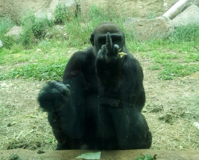 Another grumpy gorilla gives in finger in Colorado (Picture: Imgur)