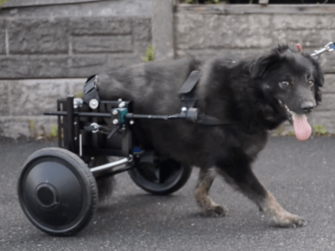 Dog fitted with 'doggy wheelchair' after his kneecaps kept detaching