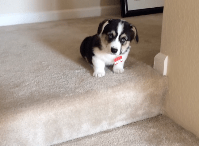 corgi puppy attempts to go downstairs