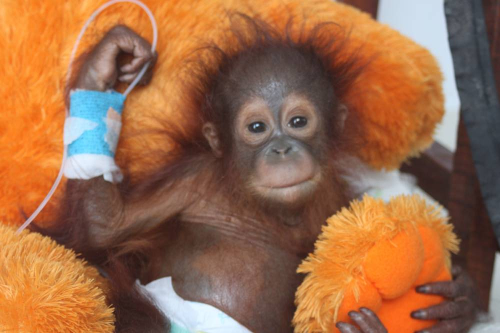 A veterinary team from International Animal Rescue is fighting for the life of a baby orangutan in Borneo so traumatised by the loss of his mother, and being snatched from the forest, that he completely lost the will to live.   Udin, a tiny baby of only a few months old, was almost certainly clinging to his mother when she was shot or hacked down with a machete while trying to protect her infant. He was probably torn from her warm body before being sold as a pet to a local farmer. The ordeal had a severe effect on the little orangutanís health. He was kept locked up and alone in a small, dark cage ñ a terrifying experience for a young animal that would normally depend on his mother for comfort and protection during the first years of his life. When he arrived at the IAR Orangutan Centre in Borneo Udin showed no interest in his surroundings and turned away from the rescuers trying to save his life. He was severely malnourished and dehydrated but had no desire to eat, to drink or to live. His mind and body were detaching from the world around him. Pictures released today by International Animal Rescue shows the team comforting and caring for Udin shortly after his rescue:  Vet nurse Sara has described how Udin literally ìtried to die several times, but we wouldnít let him and just kept interacting with him and doing lots of physiotherapy and exercises so he could not ignore us and had to learn to trust us as his sole link to survival. Eventually, after around ten days, he turned a corner. He started to respond to us and show an interest in food. Finally there was a glimmer of light in his sad dark eyes.î  Although his condition is more stable, Udin still requires constant care and intensive medical treatment.  Alan Knight, IAR Chief Executive, said: ìThe vets are doing everything they can to give Udin the best chance of survival. From the moment he was rescued, members of the team have stayed with him round-the-clock and still sleep on the floor beside him so that the