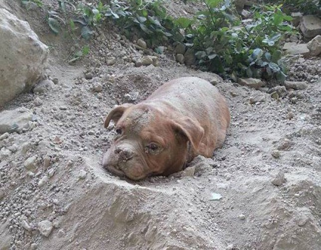 "Photos of a dog buried alive up to its head in France sparked an outpouring of anger on social media Wednesday, and police said the owner was taken into custody.....The French mastiff was discovered and then rescued on Saturday by a man walking his own dog on waste ground in Carrieres-sur-Seine, west of Paris.....The man posted pictures on Facebook saying: ""Only her head was visible and it was difficult to see given the amount of earth covering her.....FROM Pedro Dinis Facebook - https://www.facebook.com/pedro.dinis.3994/posts/996970490334752"