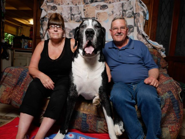 ****ONLINE EMBARGO - 00.01 WEDNESDAY 12TH AUGUST 2015**** PIC BY MERCURY PRESS (PICTURED: Yogi Bear with owners, Rob and Sue on Yogi's couch, it is not very often that Yogi allows them to sit on his couch) A granny was left ëin the dog houseí when she told her husband they had adopted a Jack Russell ñ only for the puppy to grow into one of the biggest dogs in the UK. Grandmother-of-four Sue Markham fell in love with 1lb 15oz puppy Yogi but husband Robert, both 57, had said he didnít want a ëbig dogí. So Robert was left stunned when the ëJack Russellí didnít stop growing and turned into a 15-stone monster ñ who chomps his way through £37 worth of food every week. Yogi, known in the village as ëBearí due to his size, turned out to be a Boston Great Dane that now has his own three-acre paddock for exercise and wears an outdoor horse coat since he was too big for any designed for dogs. SEE MERCURY COPY
