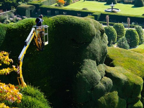 This hedge in Wales is absolutely massive and takes ten weeks to trim
