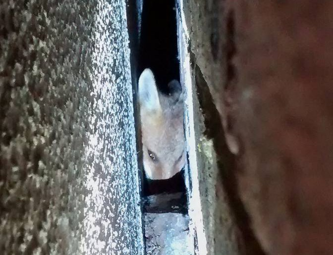 """BEST QUALITY AVAILABLE Undated handout photo issued by the RSPCA of a fox cub who was rescued after it was found """"screaming in pain"""" after becoming stuck in a three-inch gap between a house and a garage in Saltdean, near Brighton, East Sussex. PRESS ASSOCIATION Photo. Issue date: Monday August 17, 2015. The RSPCA was called by a member of the public who heard the wild animal in distress in the early hours of Sunday morning. See PA story ANIMALS Fox. Photo credit should read: RSPCA/PA Wire NOTE TO EDITORS: This handout photo may only be used in for editorial reporting purposes for the contemporaneous illustration of events, things or the people in the image or facts mentioned in the caption. Reuse of the picture may require further permission from the copyright holder."""