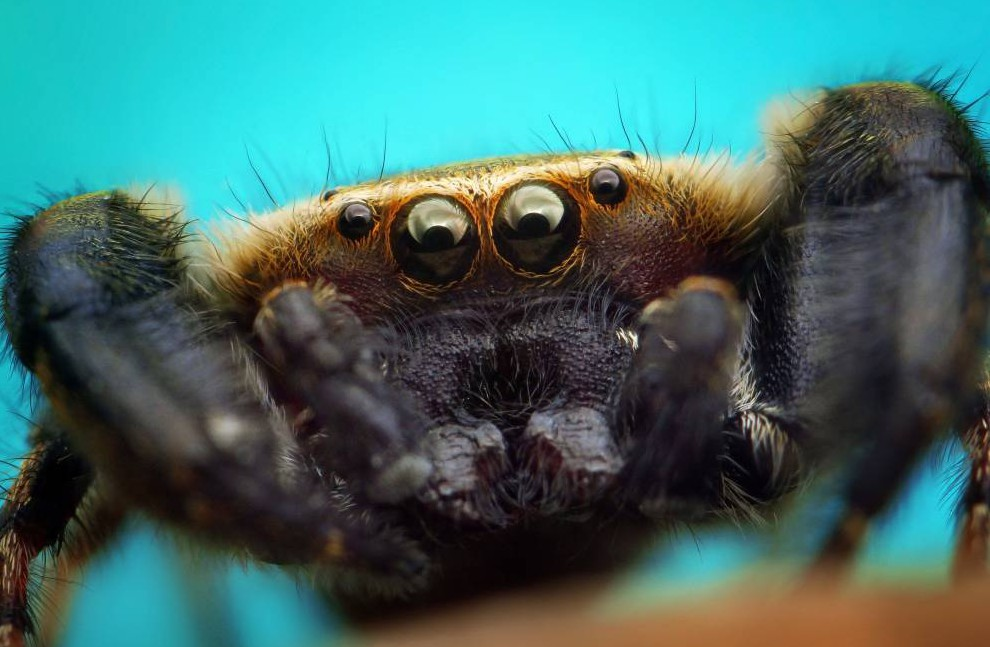 """Mandatory Credit: Photo by Solent News/REX Shutterstock (4307747g).. Macro photo of a jumping spider.. Close-up macrophotography images of spiders, Bangka Selatan, Indonesia - Nov 2014.. *Full story: http://www.rexfeatures.com/nanolink/prfq These incredible close-ups of spiders show the amazing colour and detail they can possess. Photographer Roni Hendrawan has to be quick getting the portraits when he spots the spiders. The whole range consists of jumping spiders, huntsman spiders and tarantulas - all ranging between 0.5cm to 5cm in size. Roni sees them near his home in Toboali in Bangka Selatan, Indonesia, and uses a macro lens to create larger pictures of their faces. The 22-year-old college student said: """"Many spiders have funny hairstyles like mohawks, but it's a natural style of them. """"That is why I'm curious to photograph so many different types of spider."""" The secret is to photograph them in the morning or evening, he added, because they move around less. Roni said: """"It is really difficult because spiders always move around and I have to shoot them in right focus..."""