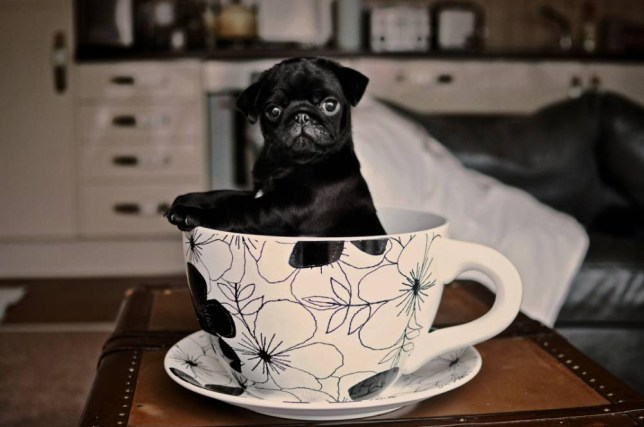 Pug Puppy in a Teacup