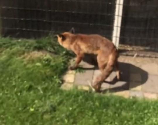 Fox hunts man