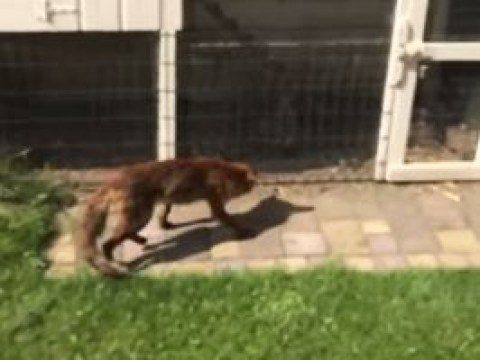 Fox spots man filming it hunt for chickens and attacks him
