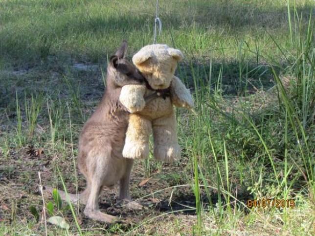 Doodlebug the Wallaby hugging his teddy