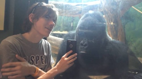 Grabs from YouTube video in which a boy shows a gorilla in a zoo pictures of other gorillas https://www.youtube.com/watch?v=aPPq7o7TzIs
