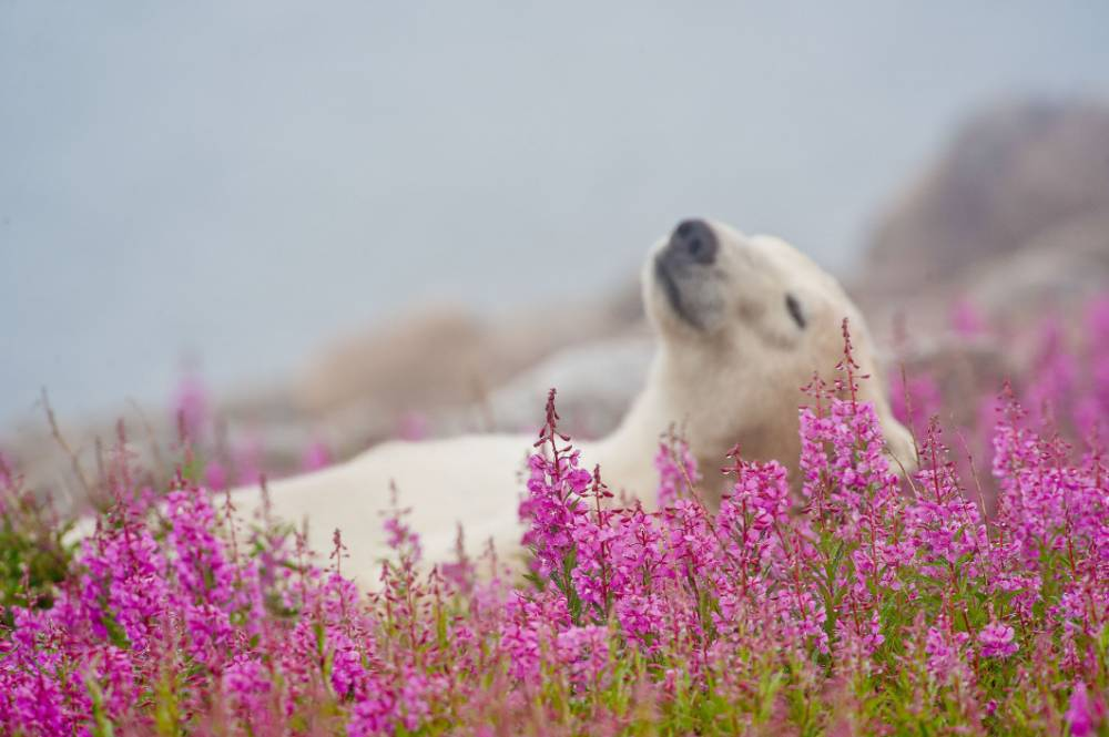 PIC BY DENNIS FAST/MERCURY PRESS (PICTURED: THE POLAR BEAR HAS A LITTLE LIE DOWN IN THE FIREWEED PLANTS ON AN ISLAND OFF THE HUDSON BAY OF CANADA) This polar bear has been watching The Jungle Book too often as this series of stunning photographs captures him kicking back and relaxing in a bed of flowers ñ and trying a few. Just like the Bear Necessities as sung by Disney favourite Baloo, this polar bear forgot about his worries and his strife ñ by lounging around with his legs in the air on this island in Hudson Bay, Canada. The pictures were captured by granddad-of-two Dennis Fast, 72, on a tiny 1km wide island who claims he had to pinch himself when he saw the bear playing. The retired teacher had to meticulously plan the shoot for YEARS as due to the island being so small it could result in an over-eager photographer having no escape if a bear turned aggressive. SEE MERCURY COPY