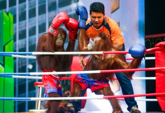 epa04929749 A picture made available 14 September shows Orangutans wearing boxing gloves and Muay Thai shorts take part in a pretend kickboxing match at an orangutan show at the wildlife park Safari World in Minburi district, Bangkok, Thailand, 13 September 2015. A number of theme parks in Thailand use orangutans for tourist attractions such as Muay Thai boxing matches. This has prompted angered Animal rights activists to ask for the practice to be banned, considered to be cruel and degrading to the animals. EPA/DIEGO AZUBEL