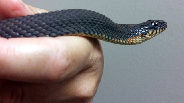 This 2015 photo provided by the Missouri Department of Conservation shows a female yellow-bellied water snake at the Cape Girardeau, Mo., Conservation Nature Center that for the second time in two years has given birth without any help from a male member of the species, conservationists say. The offspring did not survive this summer, but they did in 2014. It is believed to be the first documented cases in the species of parthenogenesis, or asexual reproduction. (Candice Davis/Missouri Department of Conservation via AP)