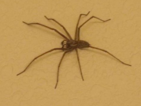 These spiders are as big as mice, and they're heading for your front room