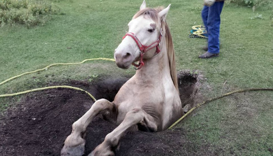 "MANDATORY CREDIT: Brad's Towing/REX Shutterstock Mandatory Credit: Photo by Brad's Towing/REX Shutterstock (5189277a) Daisy the horse stuck in hole Horse stuck in hole, Saskatoon, Saskatchewan, Canada - 16 Sep 2015 Whoopsie Daisy... This horse was caught looking sheepish when she was found stuck in a hole. Hapless Daisy is thought to have backed into the four foot-wide opening in Saskatoon, Canada. When her owners found the mare and were unable to extract her they called a local towing company. Jackie Klotz, of Brad's Towing, explains: """"Daisy had fallen into a well that had opened up on the land. The horses had been roaming that pasture for years and the owners had no idea the well was there. She had somehow backed into it so was not injured at all. She was in there pretty tight. ""They called us, Brad?s Towing, to pull Daisy out and after about 45 minutes she was out. Corman Park Veterinary Clinic was on site as well to make sure that she was safe and cared for properly."" Dr. Jesse Vargo, the veterinarian from Corman Park Veterinary Services, believes the well may have caved in when Daisy stepped on it. ""Daisy is doing well and roaming the pastures again,"" says Jackie Klotz."