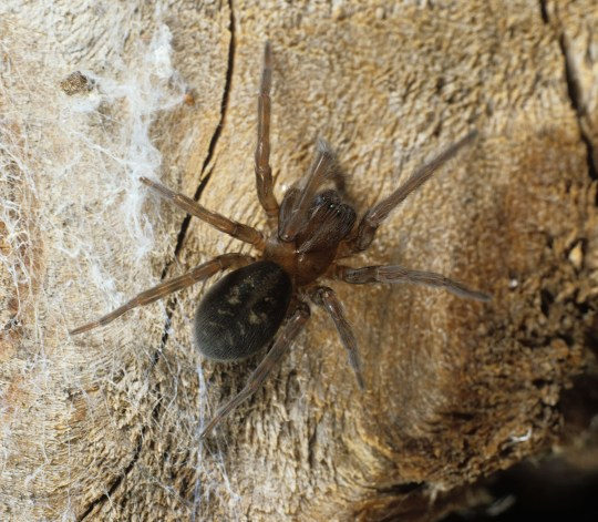 Spider mating season: 10 spiders coming to a home near you
