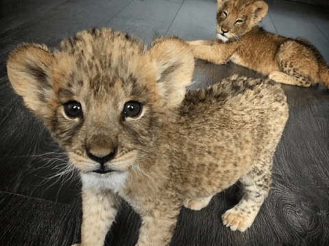 These rescued lion and leopard cubs will give you all the feels