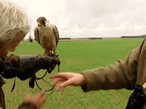 Falcon wiped out by lorry moments after being released