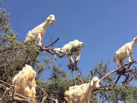 This video of a herd of goats standing in a tree is terrifying