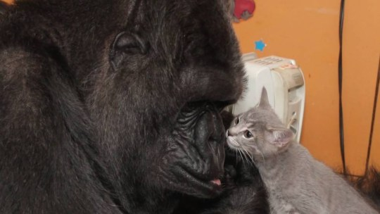 Koko the gorilla falls in love with a litter of tiny kittens