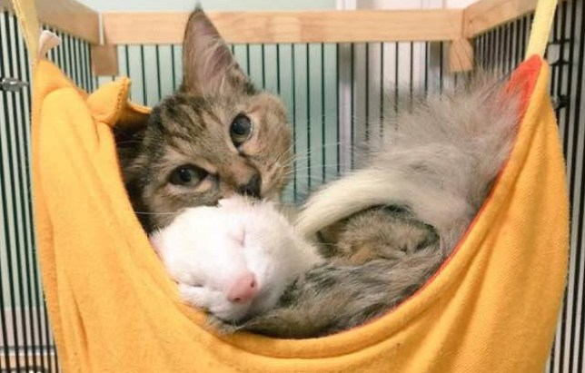 Kitten was taken in by five ferrets and now she thinks she's one of them Credit: Twitter @@garo004giru