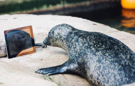 Undated handout photo issued by Weymouth Sea Life of mother Sija FaceTiming father Babyface as the pair were separated this summer and moved into sanctuaries 160 miles apart to avoid them conceiving any more pups. PRESS ASSOCIATION Photo. Issue date: Wednesday October 21, 2015. The couple surprised staff by falling pregnant despite Sija being on the pill and Babyface's old age of 37 ñ one of the oldest seals in captivity. But they are using the latest in technology ñ dubbed SealTime ñ to keep the spark in their relationship. See PA story ANIMALS Seals. Photo credit should read: Justin Glynn/PA Wire NOTE TO EDITORS: This handout photo may only be used in for editorial reporting purposes for the contemporaneous illustration of events, things or the people in the image or facts mentioned in the caption. Reuse of the picture may require further permission from the copyright holder.