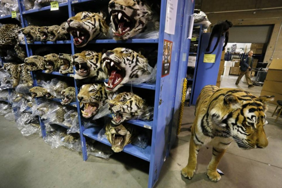 In this Oct. 20, 2015 photo, illegally trafficked leopard and tiger heads stored by the U.S. Fish and Wildlife Service's Office of Law Enforcement fill the shelves of a warehouse inside the National Wildlife Property Repository in Commerce City, Colo. The Office of Law Enforcement investigates wildlife crimes, regulates wildlife trade, helps Americans understand and obey wildlife protections laws, and works in partnership with international, state, and tribal counterparts to conserve wildlife resources. (AP Photo/Brennan Linsley)