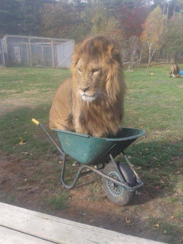 Meet Obi, a 2-year-old 400-pound lion who resides in Oaklawn Farm Zoo in Canada. Here he is, just hanging out. Source: Oaklawn Farm Zoo / Via facebook.com