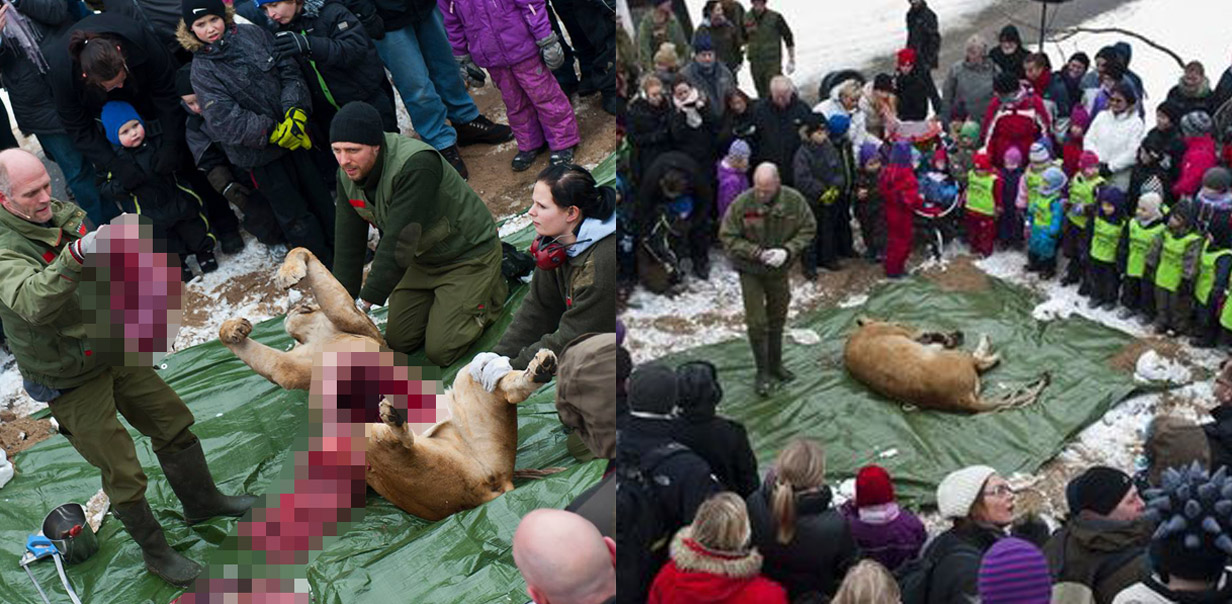 In Denmark they teach children about anatomy by cutting open a dead lion