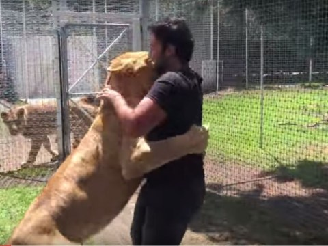 Emotional reunion between lioness and man who helped raise her